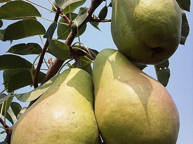 Плоды груши Кюре, выращенные в Воронеже