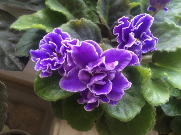 Фиалка с фиолетовой окраской лепестков
