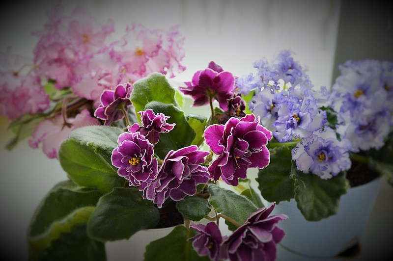 Фиалка в доме: нежное совершенство или роковой цветок?