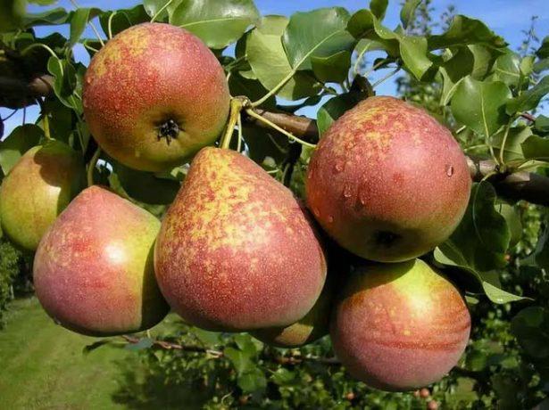 Плоды груши Мраморная
