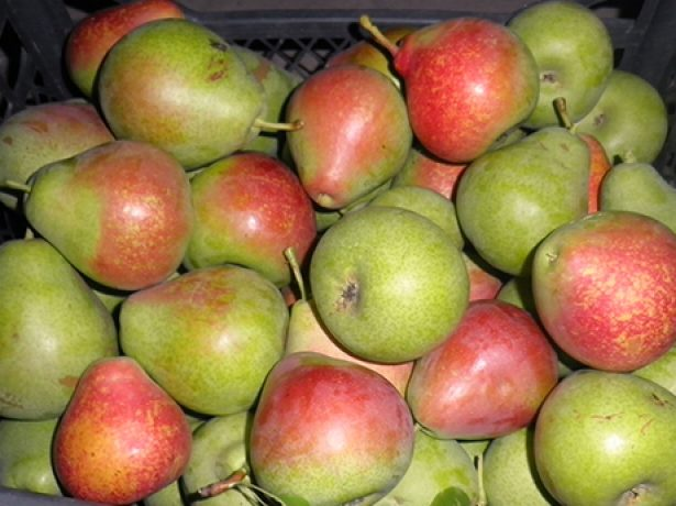 Собранные плоды груши Мраморная