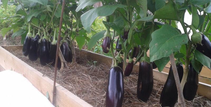 Что посадить после баклажанов, чтобы не погубить урожай