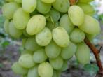 Гибридная форма винограда Джульетта