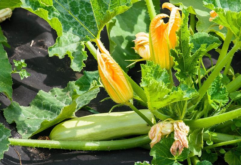 Что посадить после кабачков, чтобы не остаться без урожая