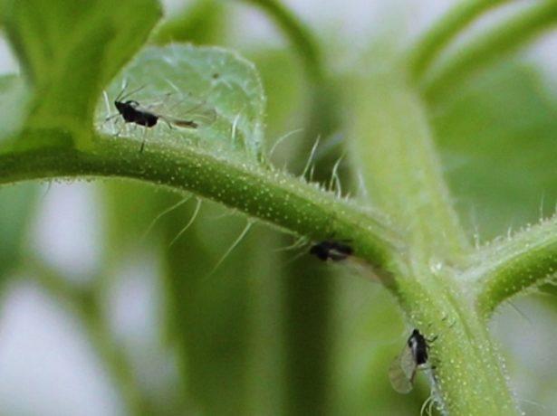 Мошки на рассаде помидоров