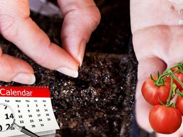Посев семян томатов
