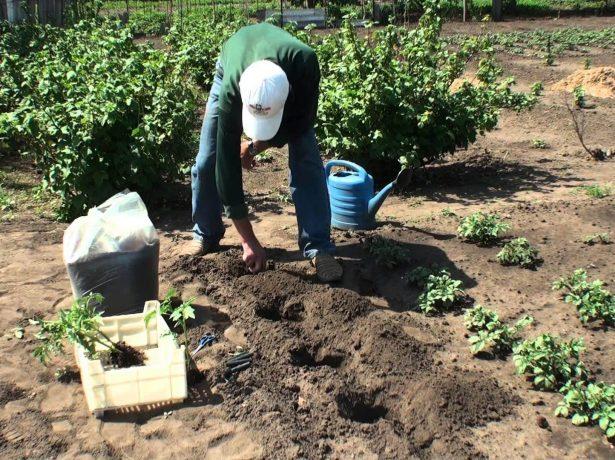 Кусты томата при обычной агротехнике