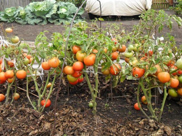 Детерминантные кусты томатов