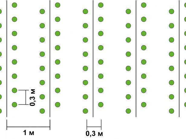 Схема высадки томатов по Миттлайдеру