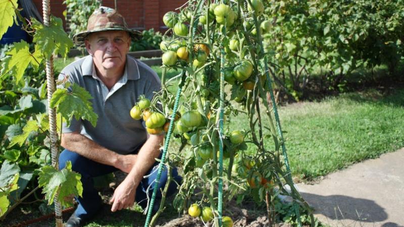 Как вырастить органические томаты — метод Шадрина