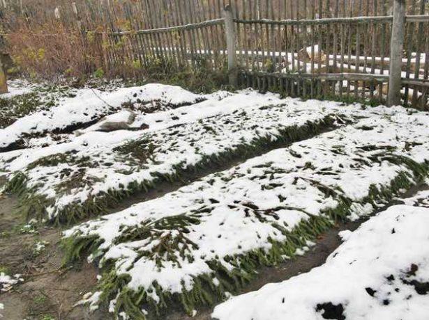 Укрытие клубники на зиму лапником