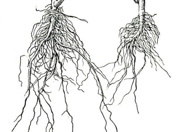 Корневая система тыквы и огурца