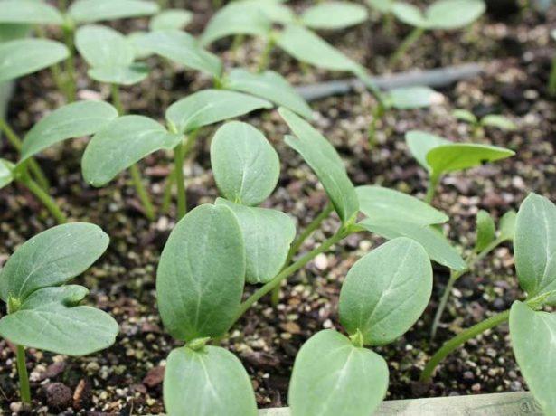 Сеянцы огурцов в обычном грунте