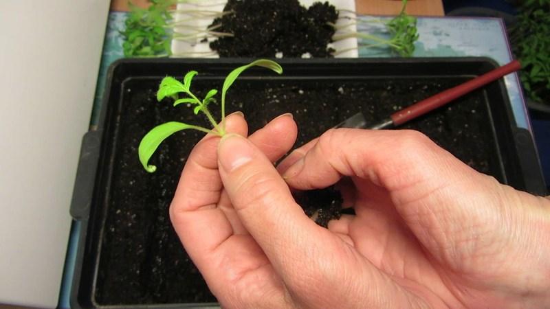 Голландские «петельки»: необычная пикировки рассады томатов корнями вверх