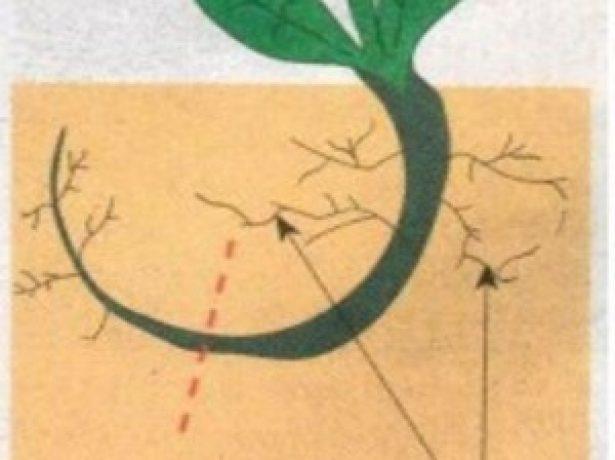 Схема высадки сеянца корнями вверх