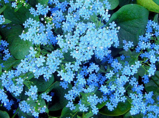 Голубое облачко цветков бруннеры