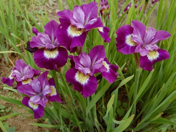 Iris sibirica 'Sultan's Ruby'