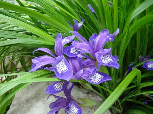 Iris ruthenica