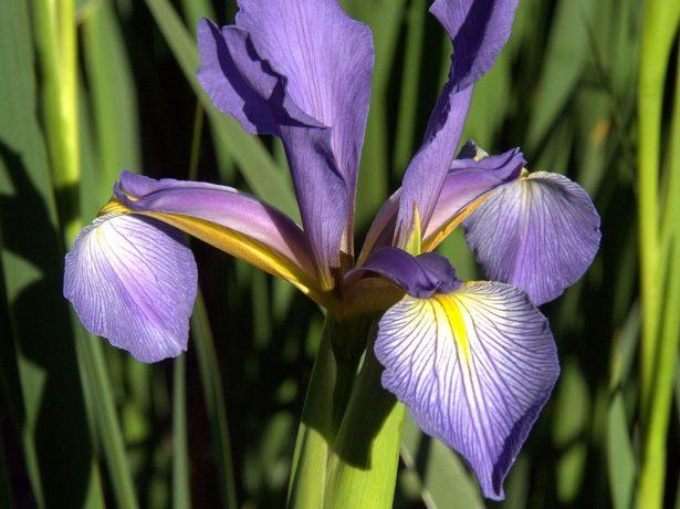 Iris spuria ssp. notha