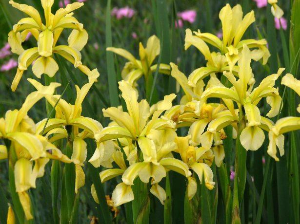 Iris spuria ssp. halophila