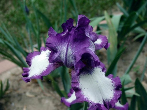 Iris germanica 'Stepping Out'