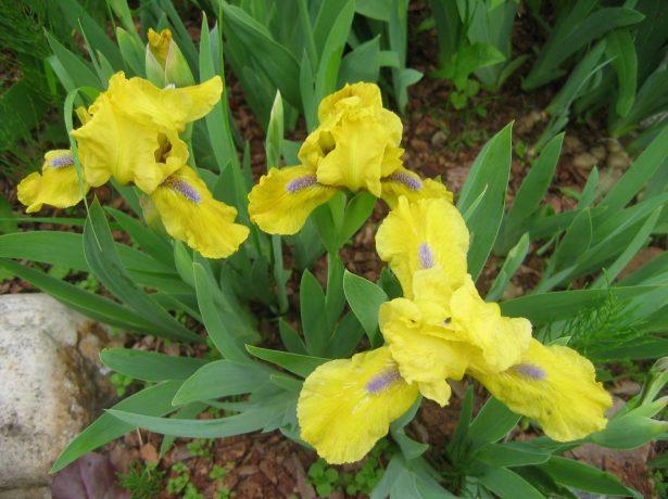 Iris pumila жёлтый