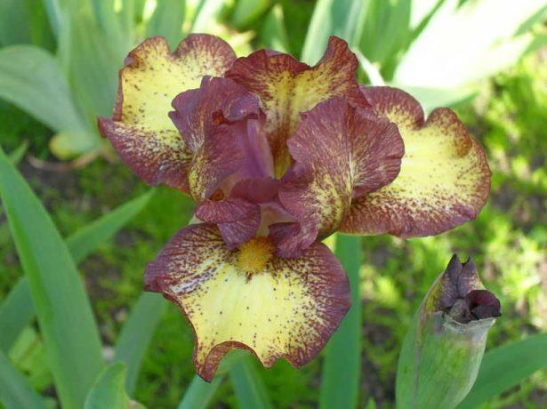 Iris pumila 'Ringer'