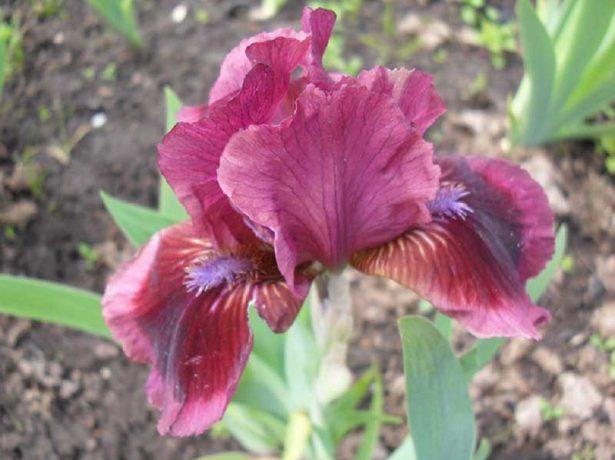 Iris pumila 'Cat's Eye'