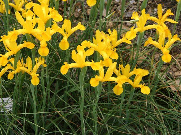 Xiphium vulgare = Iris xiphium var. lusitanica