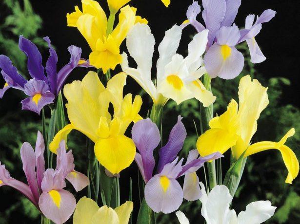Xiphium (Iris) x hollandica