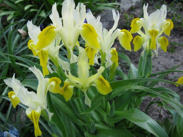 Juno (Iris) bucharica