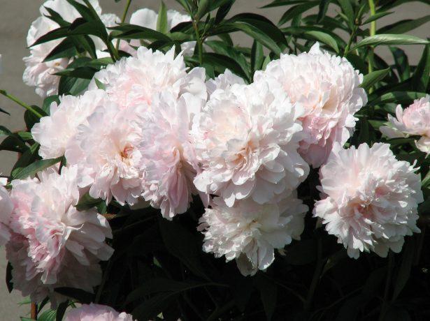 Пион травянистый сорт Мадам Калот