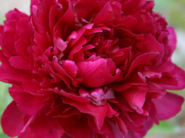 Пион травянистый сорт Джун Бриллиант