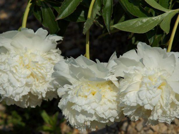 Пион травянистый сорт Принцесса Брайд