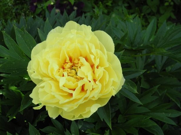 Пион Yellow Emperor