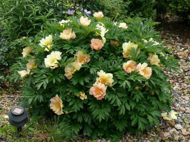 Ито-пион в саду
