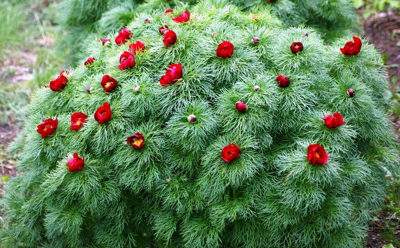 Пион тонколистный: ажурная листва и эффектные цветы