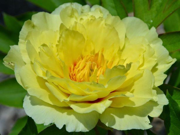 Пионы Yellow Emperor