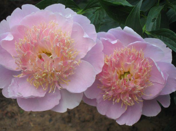 Цветки пиона японского типа