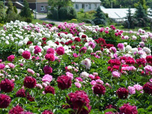 Пионовый сад
