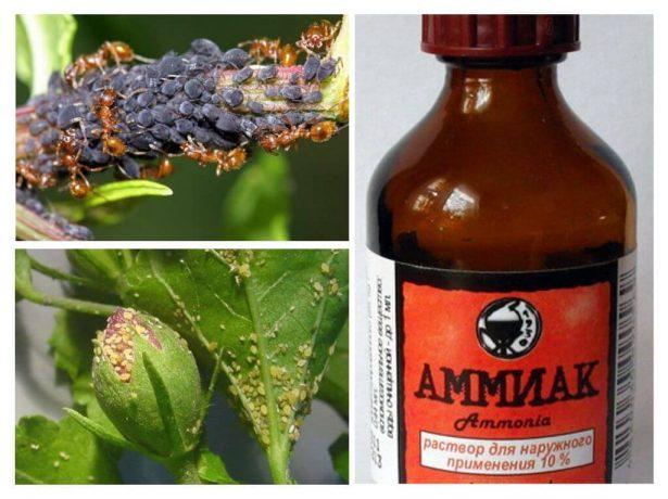 Нашатырный спирт и вредители растений