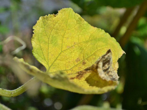 Жёлтый лист огурца