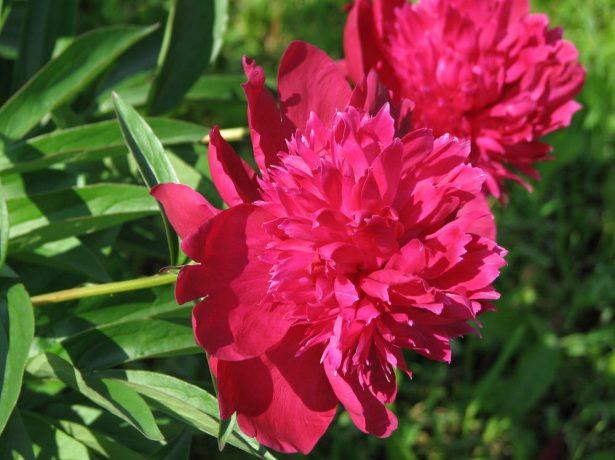 Травянистый махровый корончатый пион сорт Рут Клей (Ruth Clay)