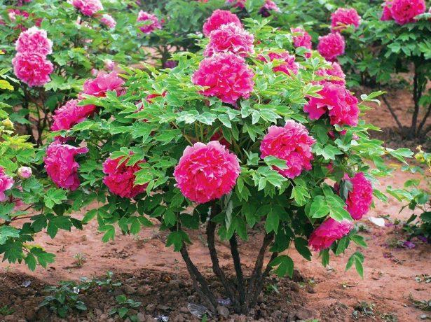 Древовидный пион цветёт
