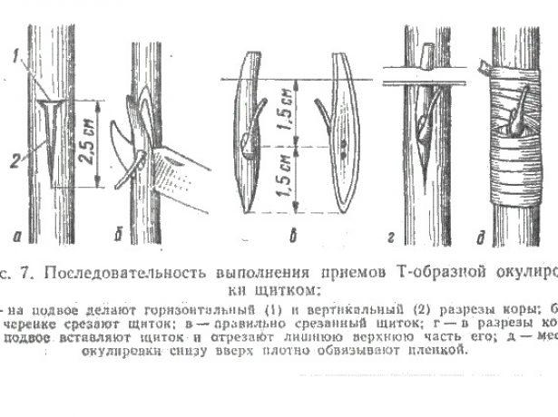 Схема Т-образной окулировки