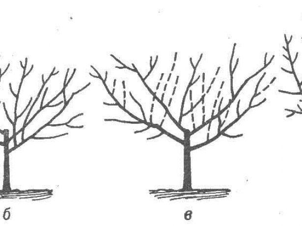Схема формирования кроны-чаши
