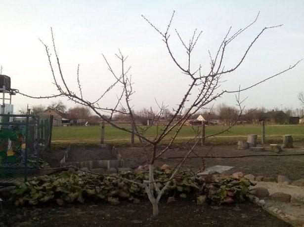 Подготовка абрикоса к зиме