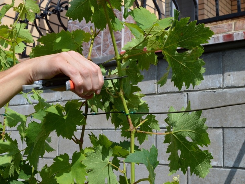 Как и когда проводят обрезку винограда летом