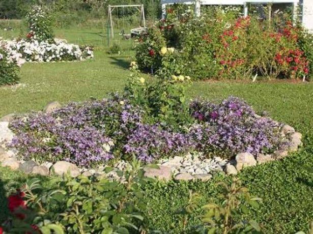 Клематис как почвопокровное растение