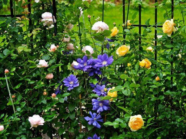 Клематис и розы